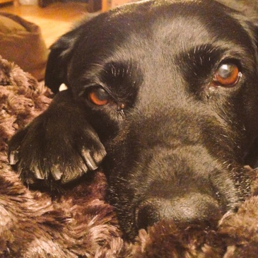 A black Labrador with brown eyes is pressing one paw and her head against her owners blanket covered knee and gazing soulfully into the camera. The blanket is brown and furry and in the background a bookcase is just visible.