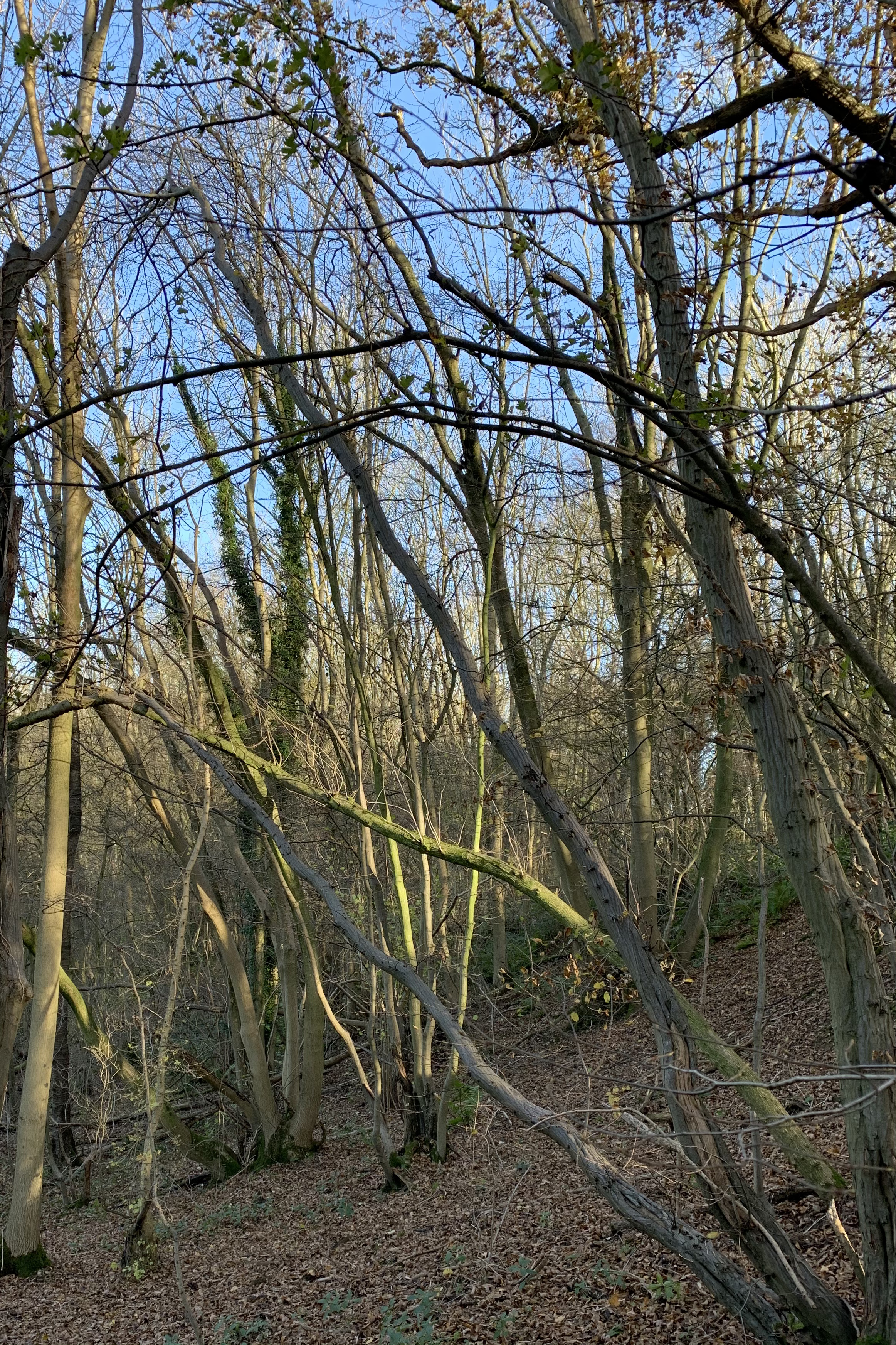 A tangle of pale brown and green tree trunks sprout from a leaf covered slope, all reaching up to the bright blue sky above. There are a myriad of shapes outlined by the trunks and branches, so many that it feels as though, if you look hard enough, a picture will emerge from the lines.