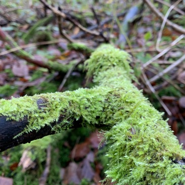 In the foreground a broken branch, with a fork in it, is covered in moss which is a vivid spring green. Out of focus in the background are more broken branches, fallen leaves, patches of green, trees and a bright horizon.