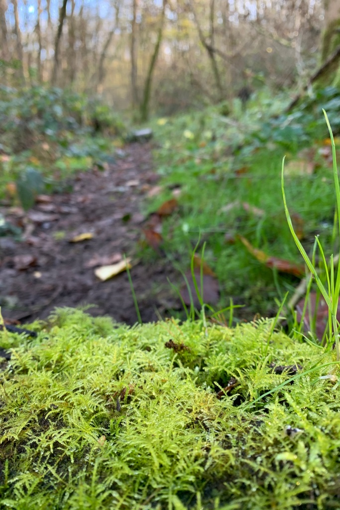 In the bottom of the picture, in sharp focus, is a covering of yellow green fronded moss. The minute individual fronds gleam and glisten although no drops of water are visible. To the right of the frame several blades of grass, one shader greener than the moss, draw the eye. In the background, all of which is out of focus, is a muddy path that is edged in several darker shades of green, leading to a thicket of trees and a hint of blue sky at the top left of the picture.