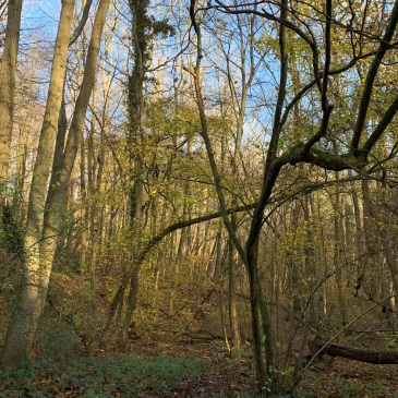 A thicket of trees in an autumnal wood, the trunks part gilded by the late morning light. There are still some green leaves left and together with the shape of the trunks it looks like a fairy glade. The sky above is brilliant blue.