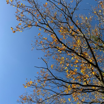 Branches covered with golden leaves are outlined against a brilliant blue sky. The leaves seem to glitter in the sunlight.
