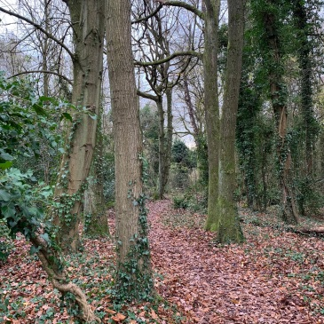 A leaf strewn path meanders away through the trees. The trees that border the path have mostly bare trunks but those further into the wood (and the one closest to the photographer) have ivy climbing all over them and hints of moss too. The sky, seen through the tree branches, is mottled grey and white.
