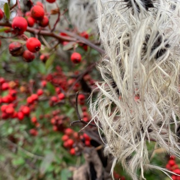 A close up of some old man's beard (the climbing shrub with seed pods that are long white and furry) next to some bright red berries. Nature doing its own Christmas decorations.