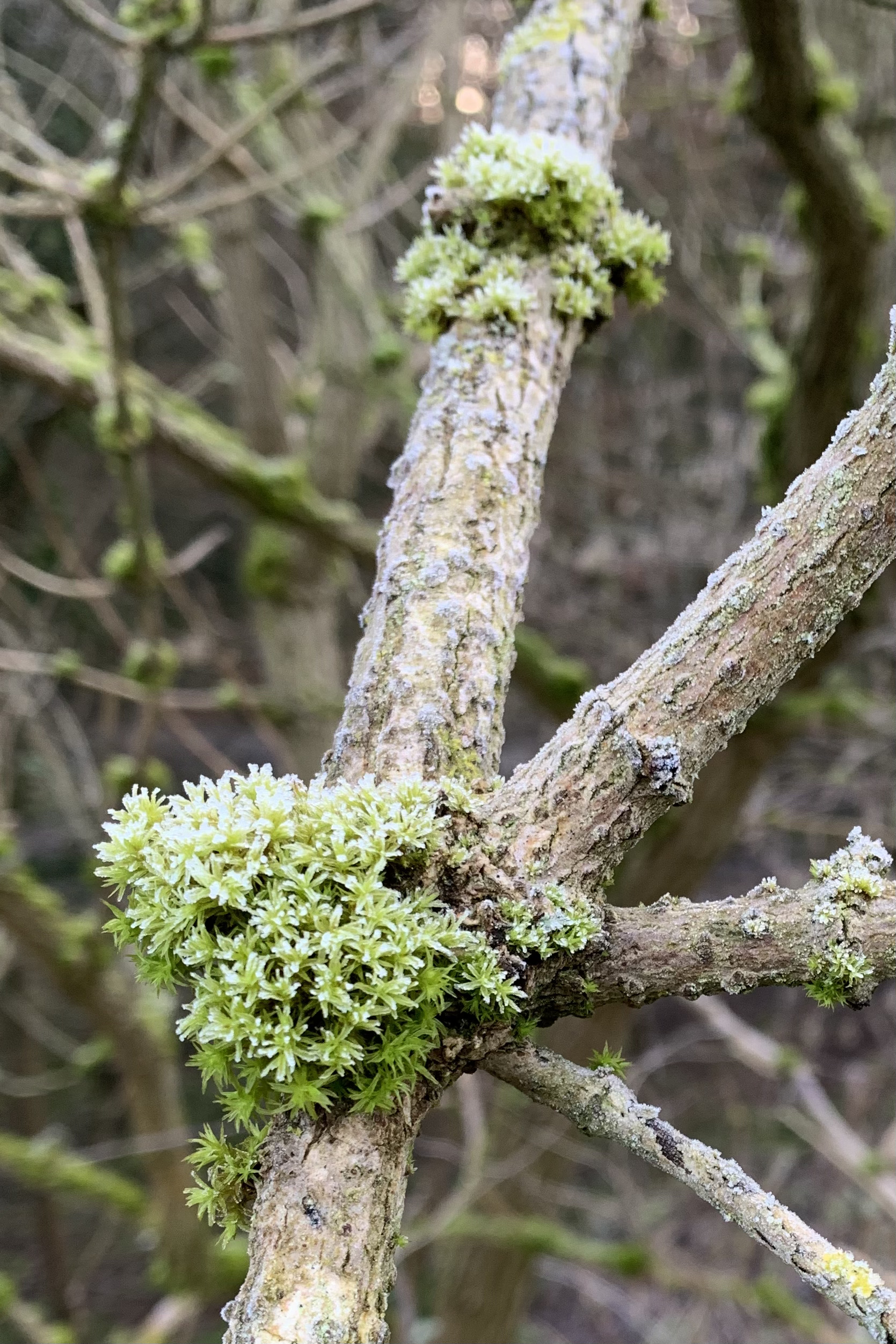 Frosted moss growing on the branch of an elder tree