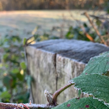 A fence post, and the bramble growing over it, are dusted with frost. Out of focus in the background it is clear the the field is also covering in frost.