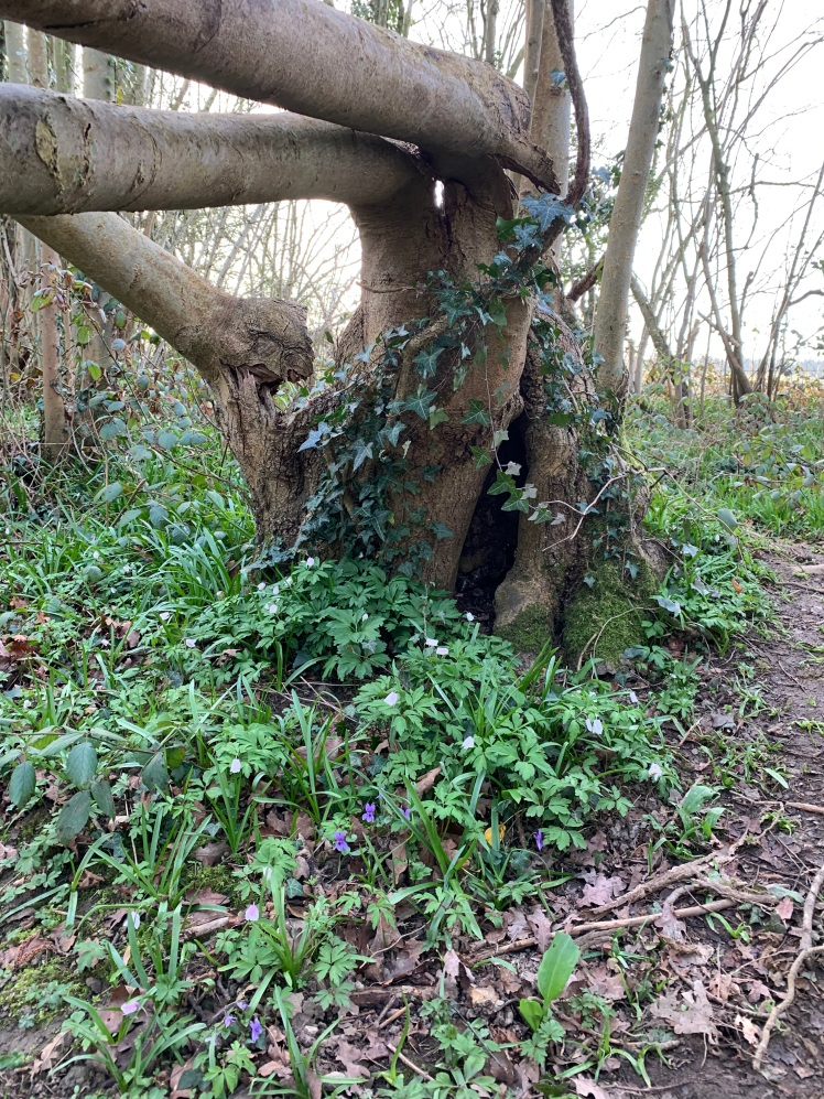 A tree stump, wound round with ivy, with wood anemones and violets in front of it.