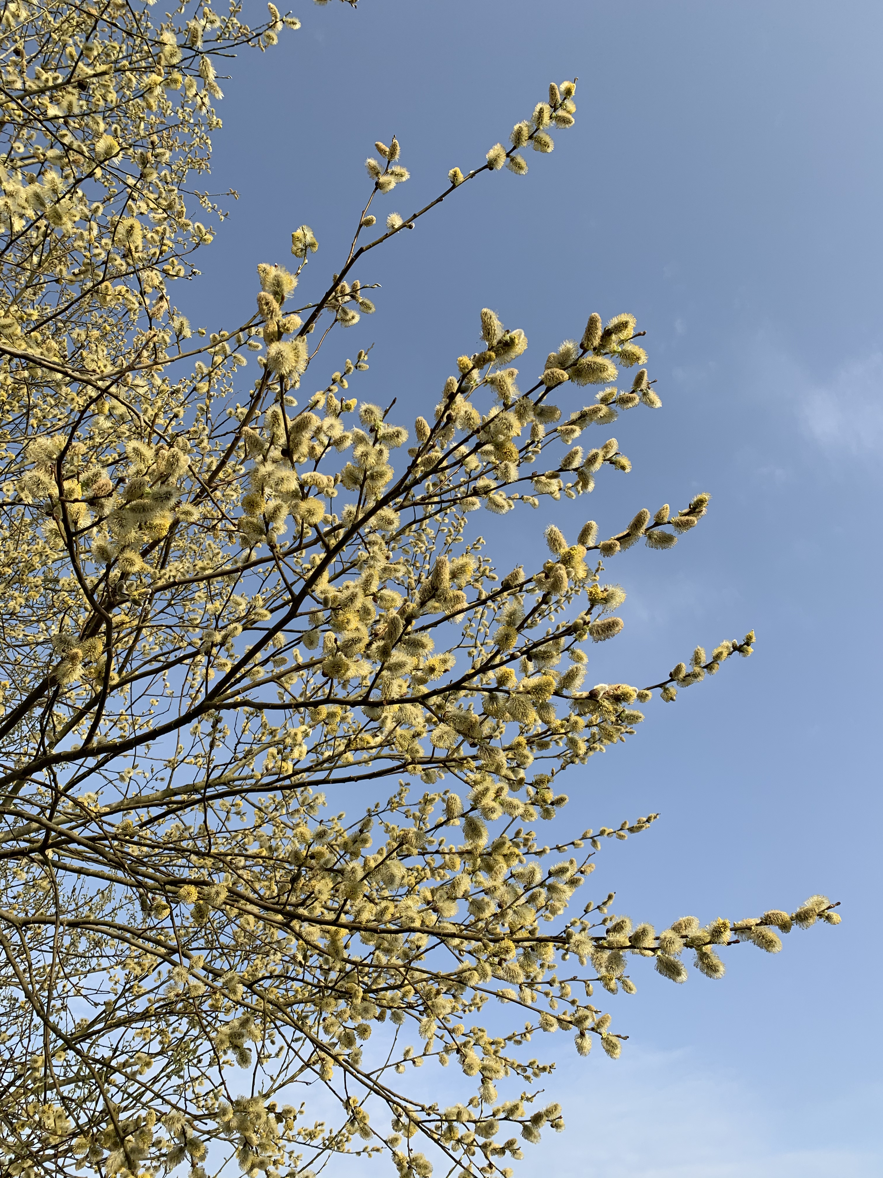 Hundreds of open willow buds, covering in yellow pollen, glow against a pale blue sky.