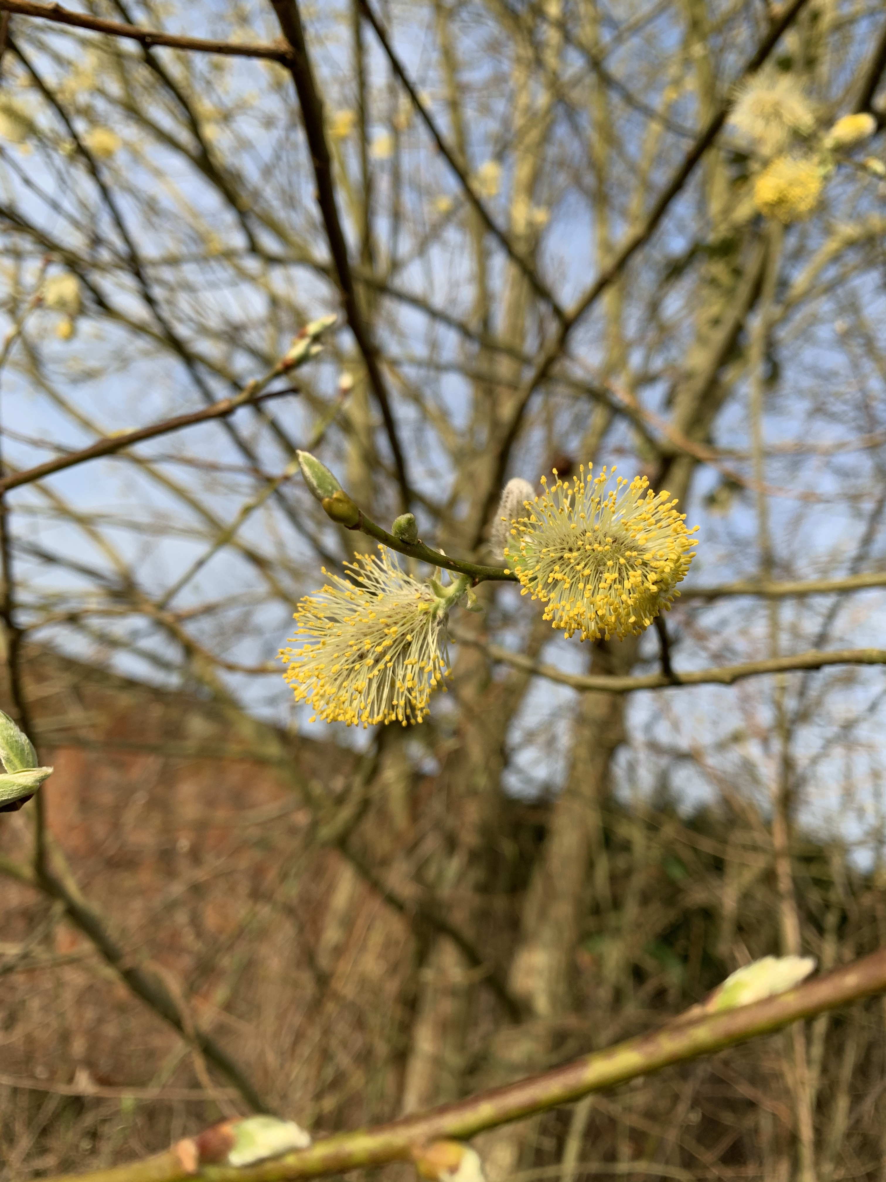 Willow buds fully open and sharing their pollen with everyone!
