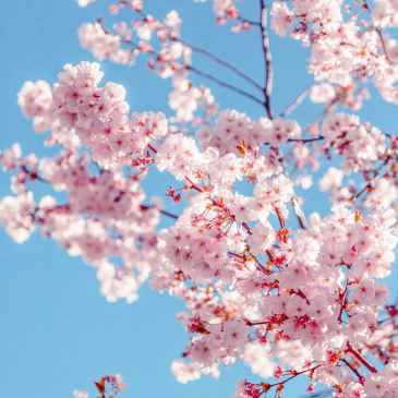 Pink cherry blossom in bright sunlight against a blue sky.