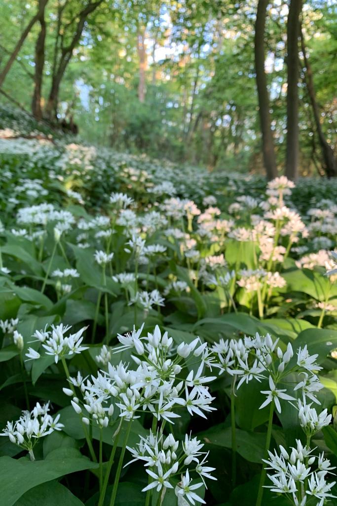 Close up of Wild Garlic Flowers
