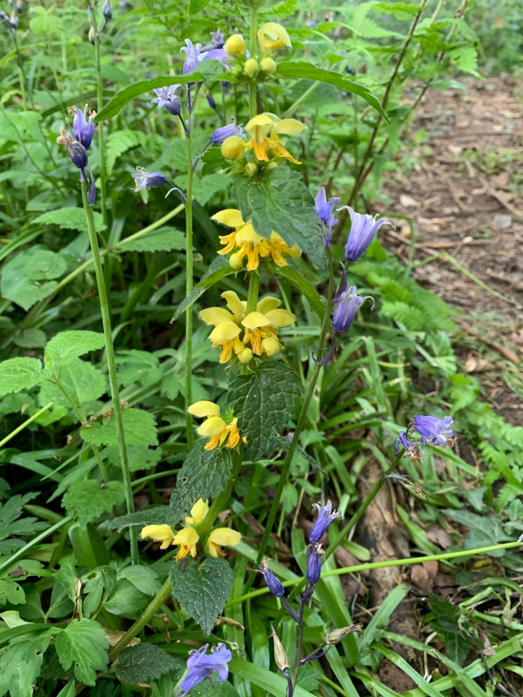 Yellow Archangel and Bluebells