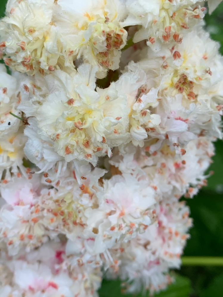 Close up of Horse Chestnut Candle