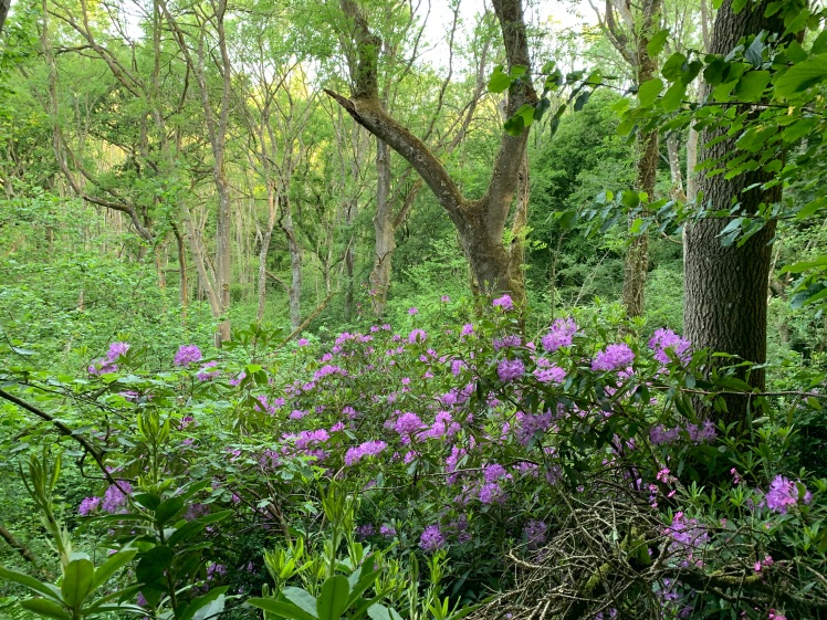 Rhododendron Patch