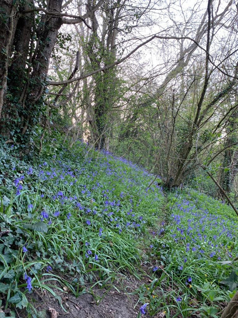 Bluebells on the side of the path leading to the woods proper.
