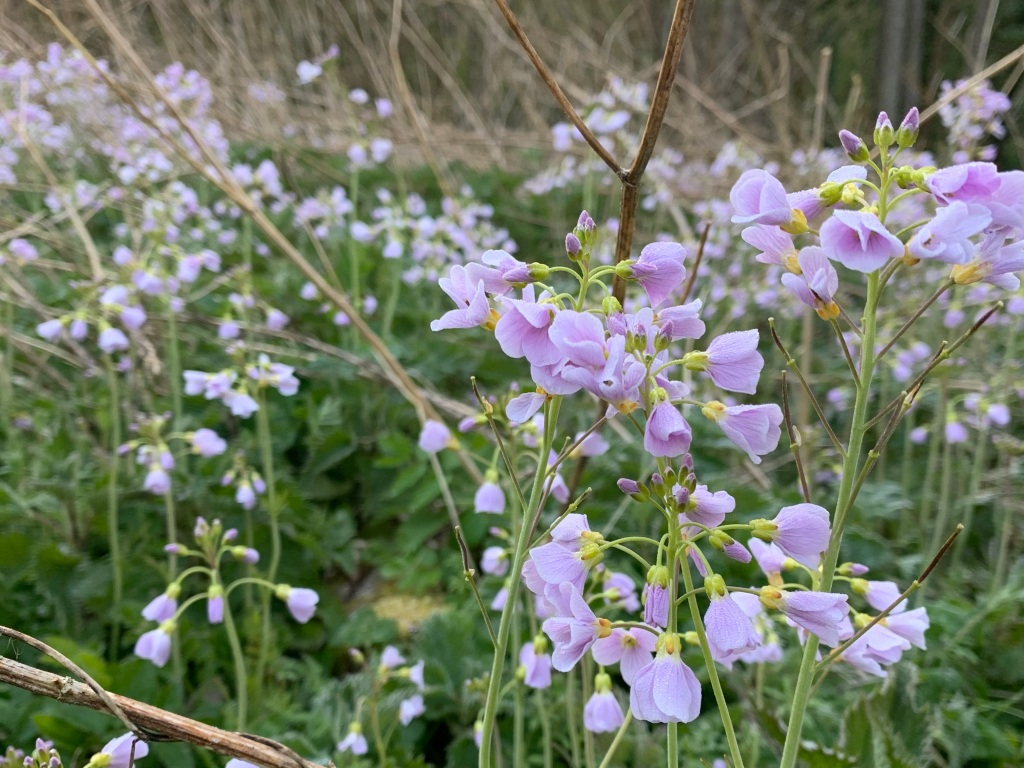 Lady's Smock, also called Cuckoo Flower, on the edge of the field by the wood.