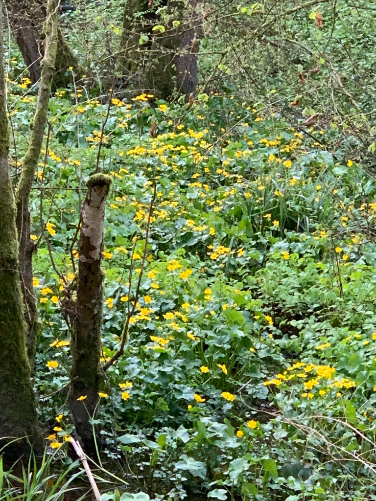 King Cups, also called Marsh Marigold, proliferating on the edge of the stream