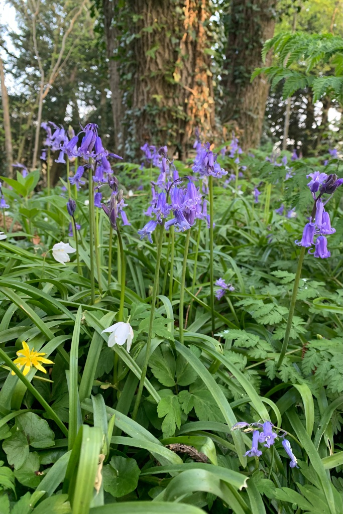 Bluebells in amongst the ferns with a few Wood Anemones and a Celandine.