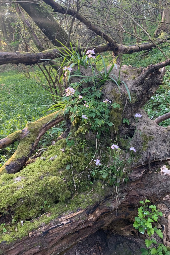 Roots of a fallen tree covered with moss and Lady's Smock