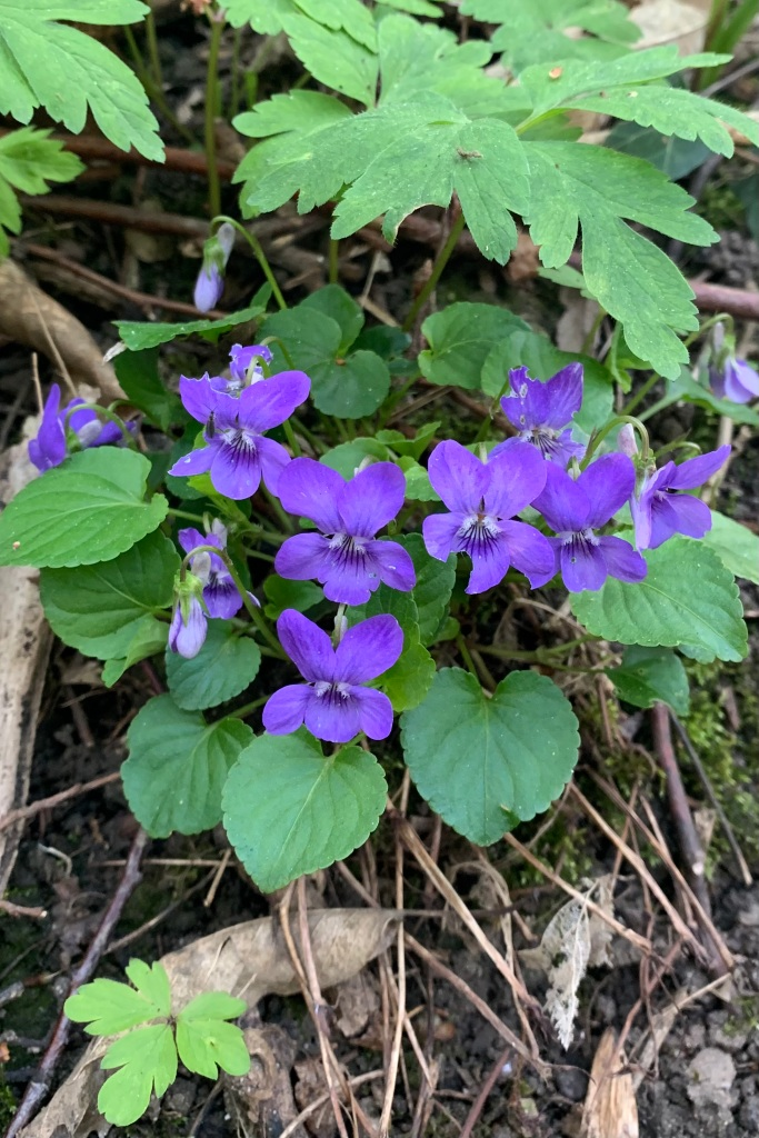 Close up of Early Dog Violets
