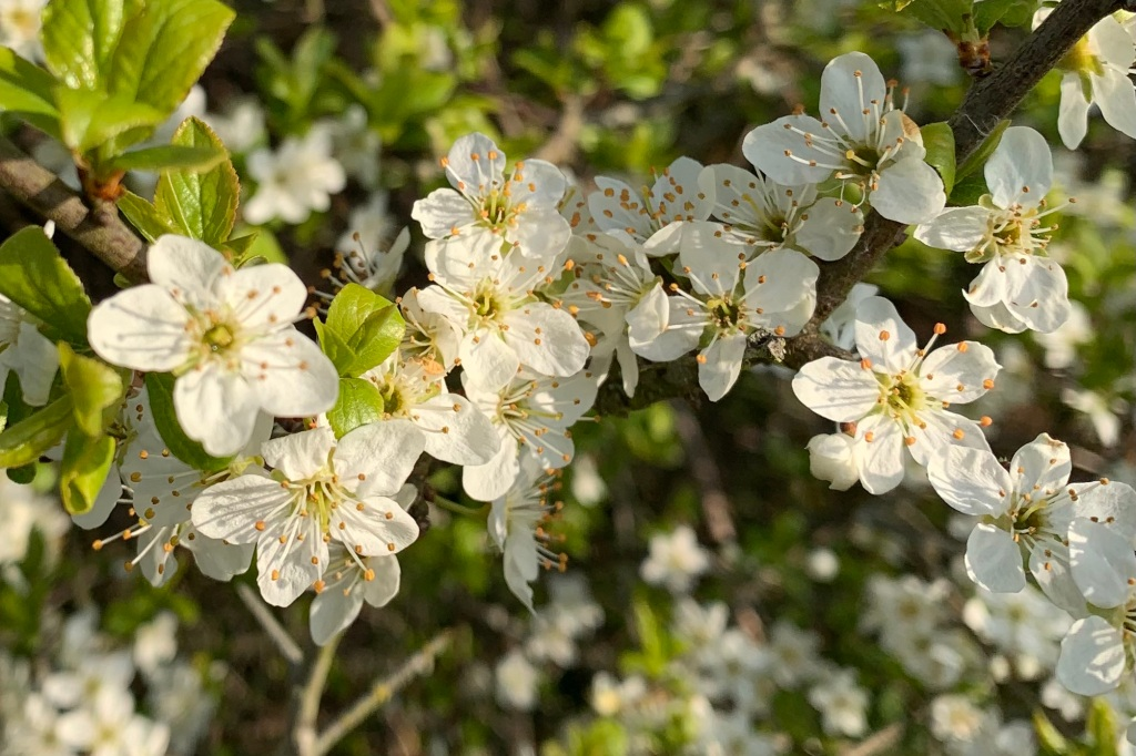 Close up of Midland Hawthorn blossoms.