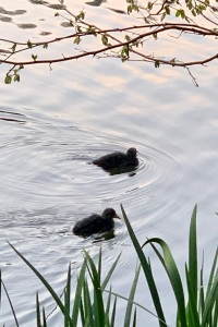 Coot chicks on the Mill Pond at dawn.