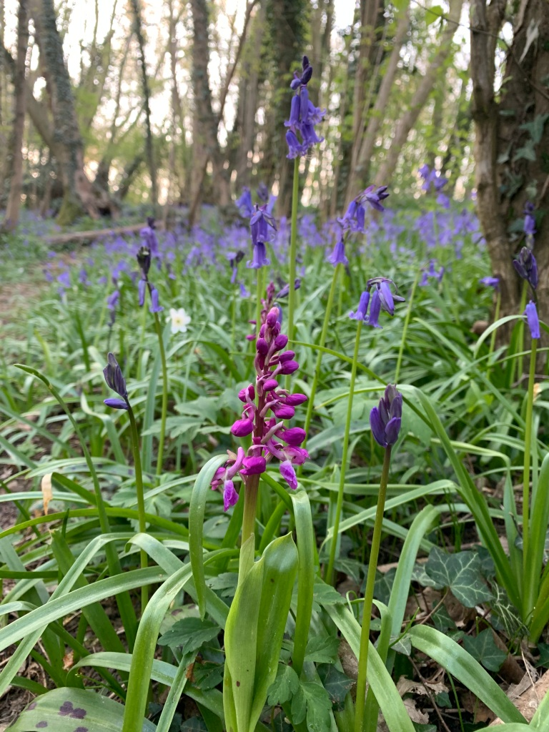An Early Purple Orchid surrounded by Bluebells.