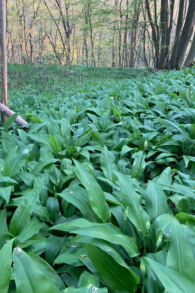Wild Garlic as far as the eye can see, with flower buds almost about to open.