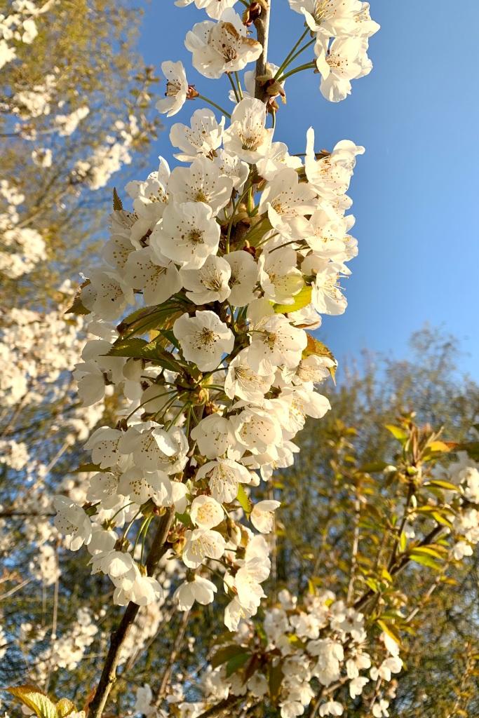 Wild Cherry blossoms against a vividly blue sky.