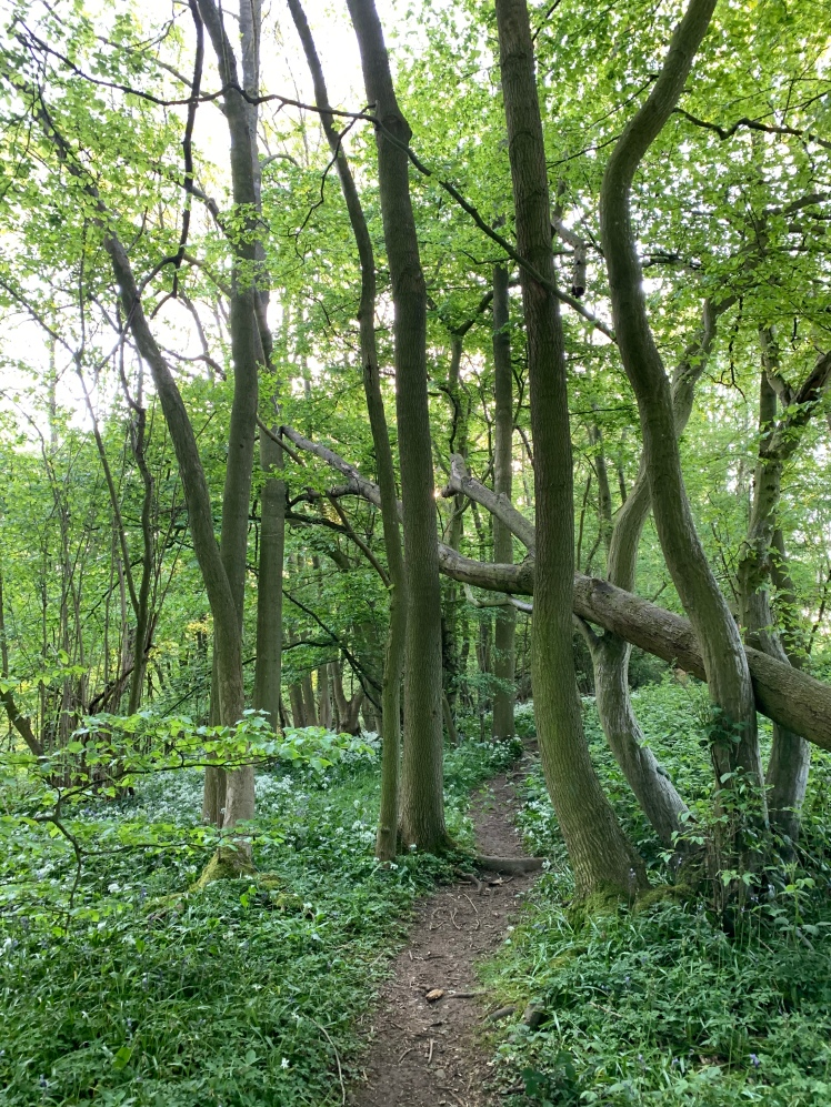 A fallen tree makes a door way with two other trees over the path that leads into the glade of wild garlic.