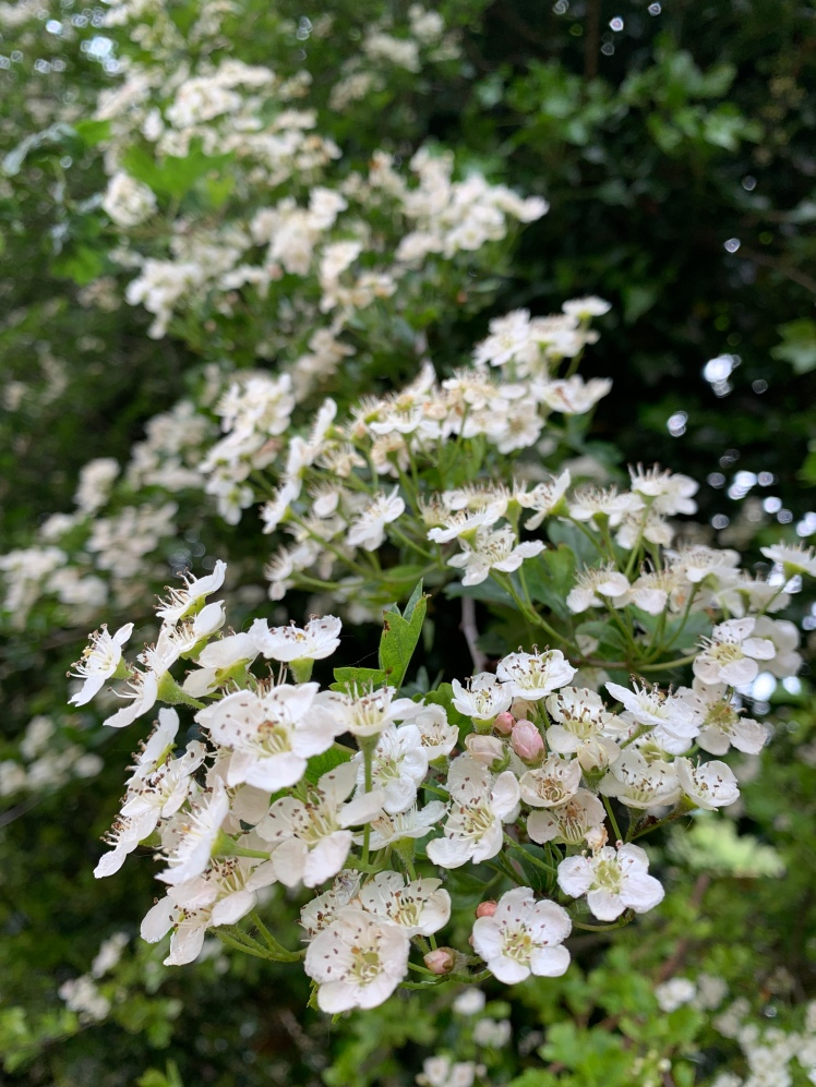 More Hawthorn Blossoms