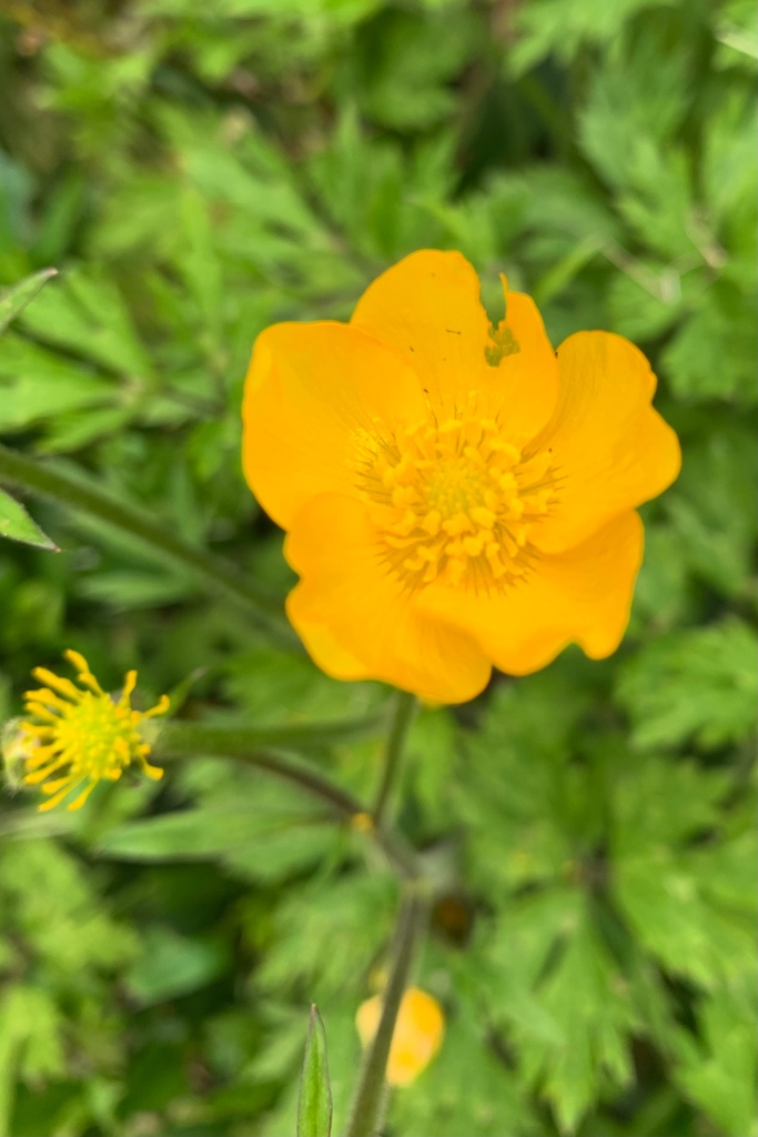 Close up of bright yellow buttercup