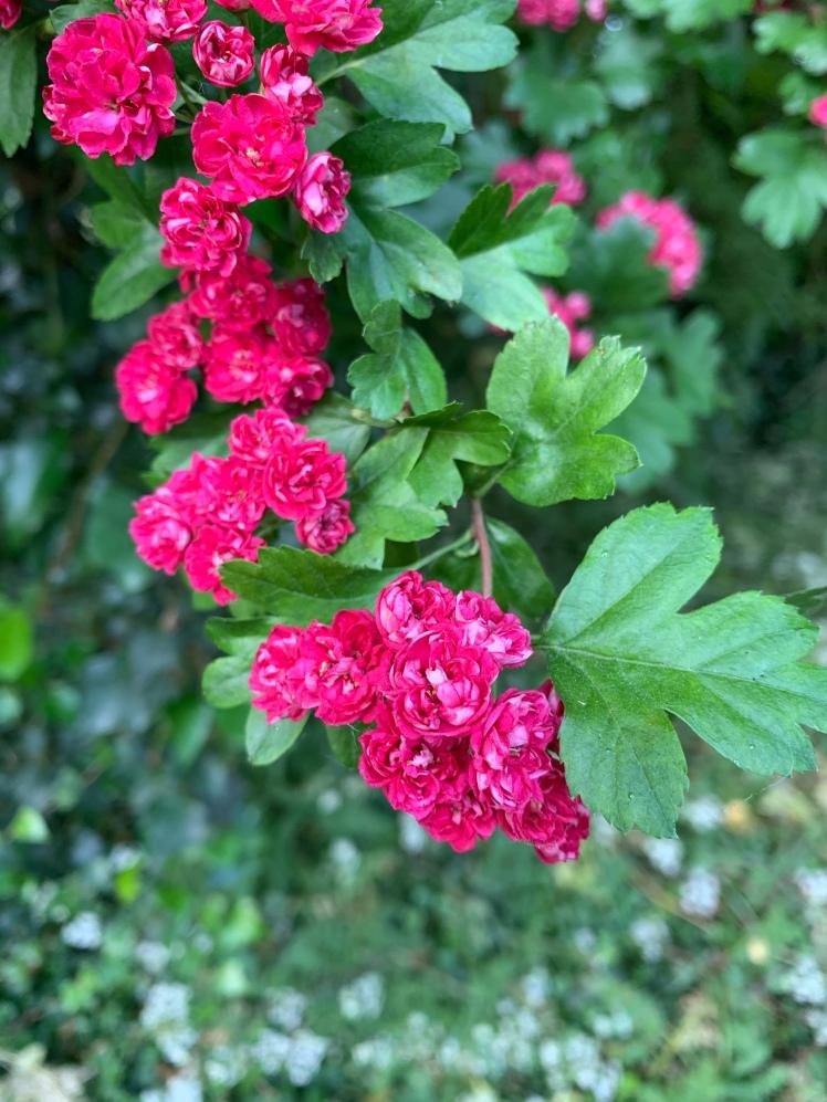 Vivid pink Judas tree blossoms