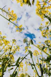 A picture of the sky taken fro the view point of you laying on your back in a meadow of yellow wildflowers.