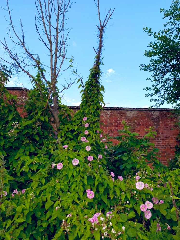 Bindweed is covering several dead trees and blooming, the pink bell flowers standing out in the sea of green leaves.