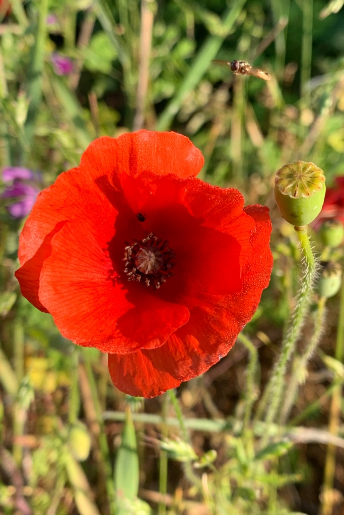A single poppy flower with a seed head to its immediate right.